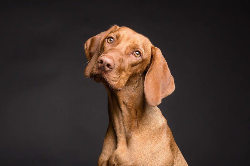 Beau chien pointer marron avec le regard incliné.